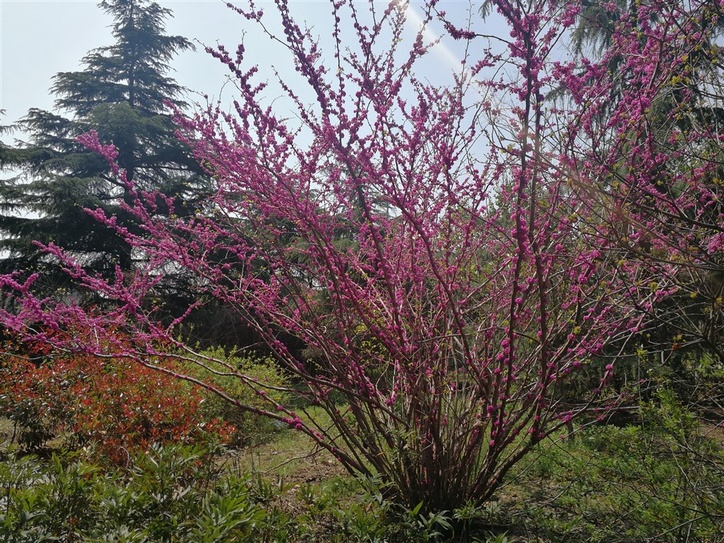紫荆花.jpg